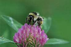 Supporting bumblebee populations on quarry sites