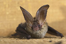 FWS won't designate critical habitat for Northern Long-Eared Bat