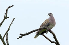 Cemex UK and RSPB begin turtle dove conservation project
